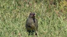 Female Satin Bowerbirds Feed  In Grass