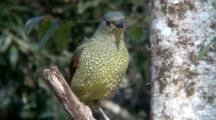 Female Satin Bowerbird Perched On Branch, Flies Away