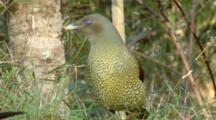Female Satin Bowerbird Feeds