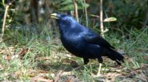 Male Satin Bowerbird Feed