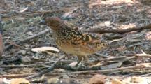 Western Bowerbird Feeds On Ground