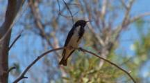 Pied Honeyeater Perched High Up In Tree
