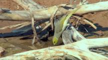 White-Plumed Honeyeater Drinks