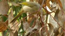 White-Plumed Honeyeater Nest