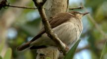Brown-Backed Honeyeater Perched