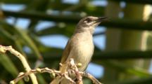 Brown Honeyeater Singing