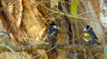 White-Cheeked Honeyeater Perched, Another Joins It
