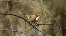 Chestnut-Crowned Babbler Perched