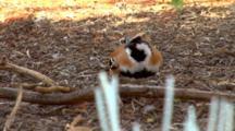 Cinnamon Quail-Thrush Feeds On Ground