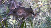 Chiming Wedgebill Feeds On Prey Held In Foot