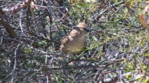 Chiming Wedgebill Perched