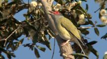 Australasian Figbird Sings