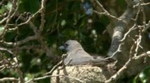 White-Breasted Woodswallow Nest, One Parent Leaves, Other Feeds Chicks