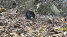 Black Butcherbird Killing A Snake