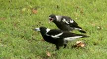 Australian Magpie Feeds Large Chick On Ground