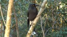 Pied Currawong Perched