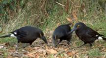 Pied Currawongs Feed On Ground