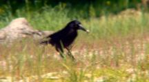 Grey Currawong Feeds On Ground