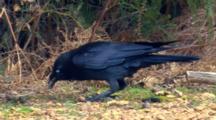 Australian Raven Feeds On Ground