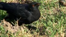 White-Winged Chough Feeds On Ground