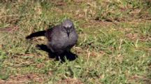Apostlebird Alert On Ground