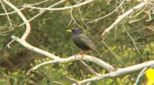 Common Starling Perched On Branch