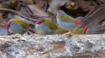 Red-Browed Finches Drink