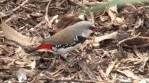 Diamond Firetail Feeds On Ground, Wiggling Grub In Beak
