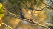 Beautiful Firetail Perched In Tree