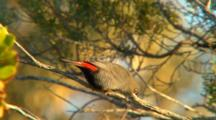 Beautiful Firetail Perched In Tree, Nest Material In Beak