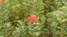 Scarlet Banksia 3