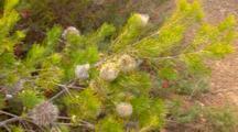 Swamp Fox Banksia 1