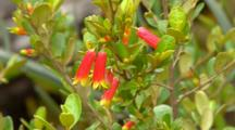 Red And Yellow Flowers, Possibly Correa