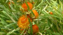 Orange Flower, Possibly In Proteasea Or Banksia