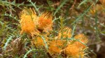 Banksia Kippistiana 1