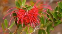 Grevillea Red Spider Flower