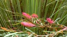Grevillea, Fern-Leaf Spider Flower 02