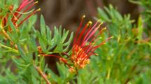 Collie Grevillea Flowers 01