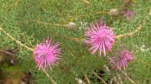 Rose Cone Flower Plant 02