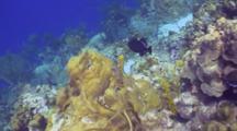 Black Durgon On Reef