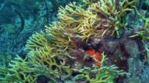 Fire Coral Patch