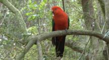 Australian King Parrot Perched