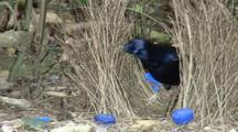 Male Satin Bowerbird Retouching Bower