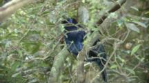 Male Satin Bowerbird Perched