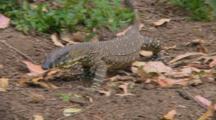 Lace Monitor Walking In Bush
