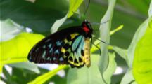 Cairns Birdwing Male 1