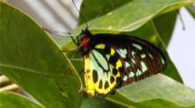 Cairns Birdwing Male 2