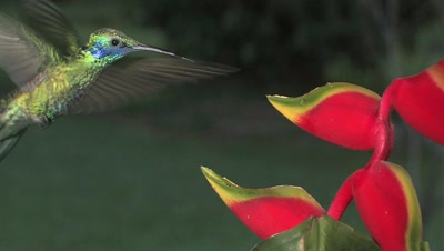 Hummingbird Sparkling Violetear Feeds On A Heliconia