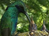 Hummingbird Sparkling Violetear Arrives To Nest And Feeds Chicks In Close Up