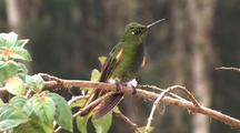 Hummingbird Buff-Tailed Coronet Feeds Perched
